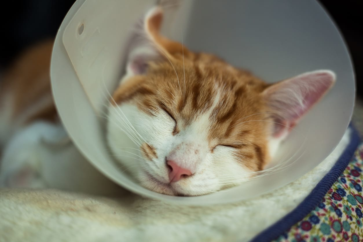 Pet Surgery in Monongahela: Kitten Wearing Cone and Sleeping